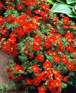 Лапчатка кустарниковая (Potentilla fruticosa Red Ace)