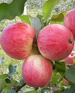 Саженцы яблони: купить почтой России