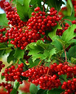 Саженцы плодовых деревьев и кустарников: купить почтой России